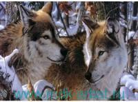 Набор для вышивания бисером 20х30 «Волки в зимнем лесу» : арт.526 (ТМ Белоснежка)